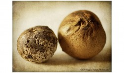 Oak Pods 2 ©2011 Jessica Rogers Photography