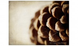 Pine Cone ©2011 Jessica Rogers Photography