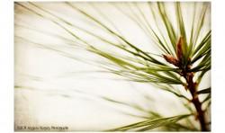 Pine Needles ©2011 Jessica Rogers Photography