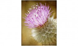 Thistle Bloom ©2011 Jessica Rogers Photography