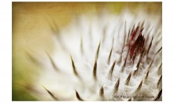 Thistle Bud ©2011 Jessica Rogers Photography